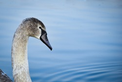 A closeup portrait of a gray swan floating on a calm water surface