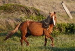 A closeup portrait of a pregnant wild pony on Shackleford Island, NC.