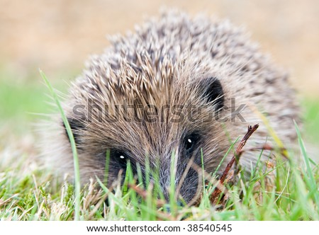 A closeup portrait of a wild hedgehog in a garden in summer. Hedgehog is looking towards the camera.