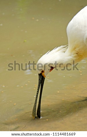 a closeup portrait of common white Eurasian spoonbill (Platalea leucorodia) bird fishing feeding searching for food in water #1114481669