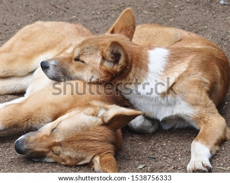 A Closeup Portrait of Two Restful Relaxed Dingoes in a Calm Tranquil Pose.