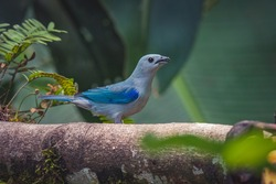 A closeup portreit of a beautiful Blue-gray tanager songbird perched on a tree branch