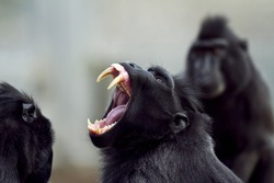 A closeup shot of a baboon screaming with its mouth open and sharp teeth