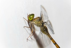 A closeup shot of a beautiful yellow dragonfly (Anisoptera) isolated on a white background