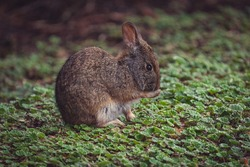 A closeup shot of a brown rabbit licking toe on cuff plants