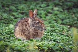 A closeup shot of a brown rabbit sitting on cuff plants