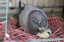 A closeup shot of a common pigeon hatching eggs with little pigeon in the nest