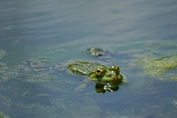 A closeup shot of a frog in the green water. Frog swimming in the sea with eyes wide open
