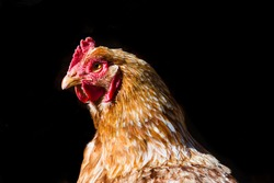 A closeup shot of a hen isolated on a black background