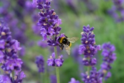 A closeup shot of a honeybee on a purple lavender flower with a blurred background