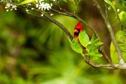 A closeup shot of a northern cardinal bird on the tree branch