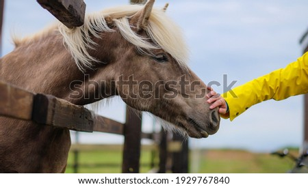 A closeup shot of a person's hand petting a brown horse in a stable in Iceland Photo stock ©