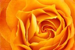 A closeup shot of a rich yellow rose