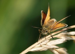 A closeup shot of a Skipper butterfly on a plant