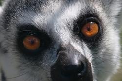 A closeup shot of a snout of a lemur