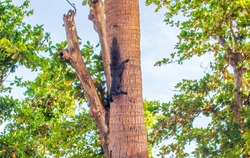 A closeup shot of a Thai squirrel on a tree in Thailand on a bright day