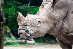 A closeup shot of a  white rhinoceros or square-lipped rhino Ceratotherium simum head while playing in a park in singapore. Nature photo colorful wildlife image