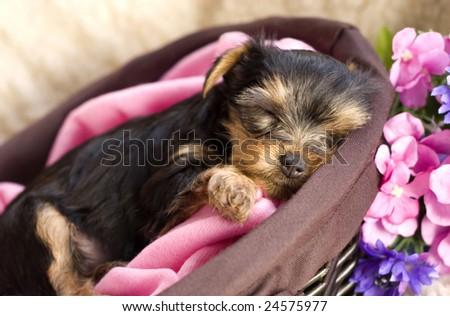 A closeup shot of a Yorkshire Terrier puppy sleeping