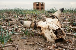 A closeup shot of an abandoned scary and creepy buffalo skull on the dirty ground