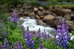 A closeup shot of beautiful purple fern leaf lavender flowers near the river