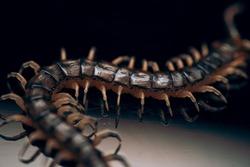 A closeup shot of centipede