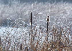 A closeup shot of dry reeds covered in frost on a winter day
