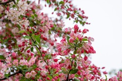 A closeup shot of Japanese crabapple pink flowers with green leaves