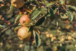 A closeup shot of ripe apples on braches
