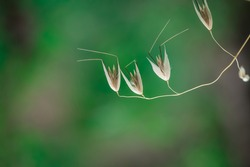 A closeup shot of silvery hair grass against a green background