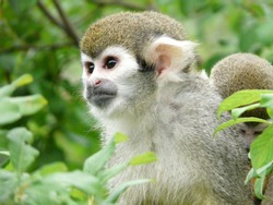 A closeup shot of squirrel monkey on tree