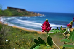 A closeup shot of Sulla coronaria flowers in full bloom near Ghajn Tuffieha Bay in Malta