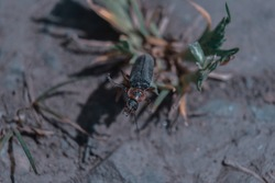 A closeup shot of the soldier beetles insect on the grass