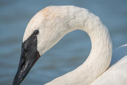 A closeup shot of trumpeter swan swimming on a lake