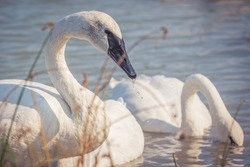 A closeup shot of trumpeter swans swimming on a lake