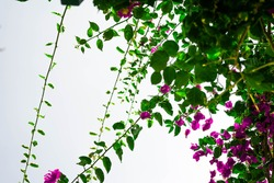 A closeup shot of violet clipart bougainvillea flowers on a white sky background