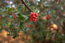 A closeup shot of yaupon holly berries on a blurred background in the New Forest, near Brockenhurst, UK