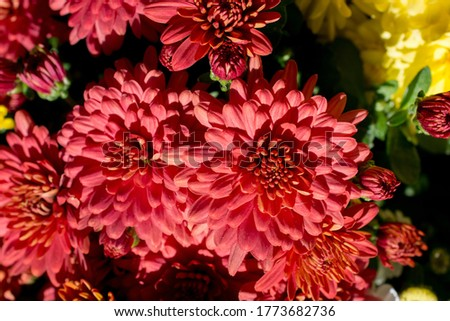 A closeup view of the pink Dahlia flowers on a sunny day