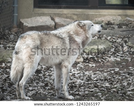 A closeup wildlife photograph of a white and grey colored gray wolf or timber wolf howling with stones and leaves in the background in fall or autumn in rural Wisconsin. #1243265197
