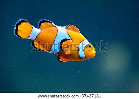 A clown anemonefish swimming