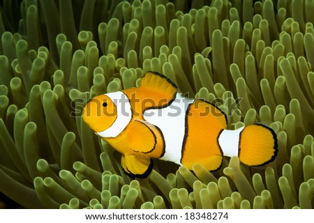 a clown anemonefish, swimming in its anemone, underwater