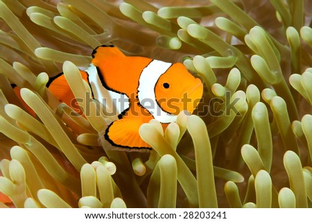 a clown anemonefish swimming in its anemone, underwater