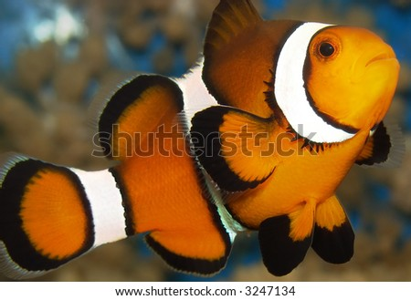 A clownfish (Amphiprion Ocellaris).