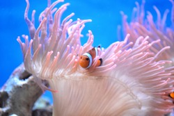 A clownfish in an anemone