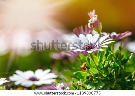 A clump of hardy African daisy, Osteospermum plants