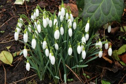 A clump of unopened snowdrops galanthus nivalis, signs of spring concept
