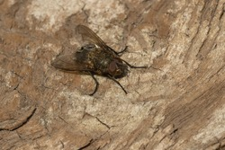 A Cluster Fly is resting on a petrified log. Taylor Creek Park, Toronto, Ontario, Canada.