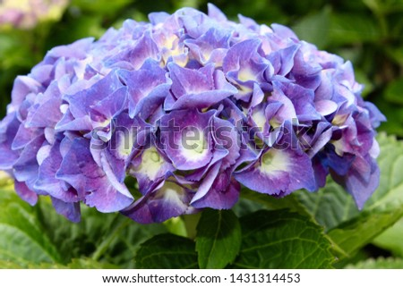A cluster of blue violet flowers blooming. Hydrangea blossoms with green leaves in the background. A dome shaped group of purple blooms. #1431314453
