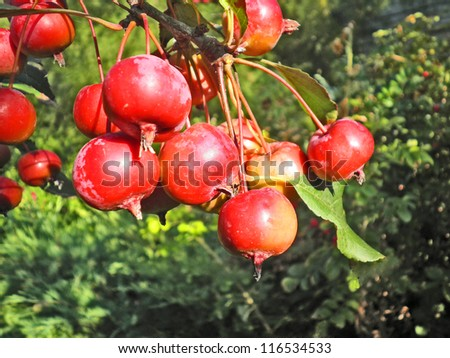 A cluster of bright red apples on a branch