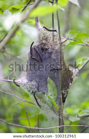 A cluster of eastern tent caterpillars crawling on their nest.
