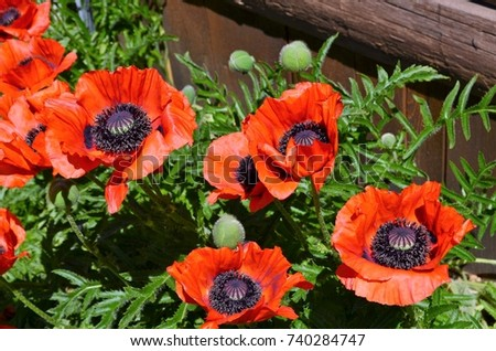 A cluster of orange poppies !